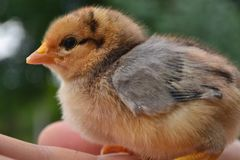 El polluelo crecerá el pollo imagen de archivo libre de regalías