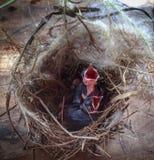 el polluelo en la jerarquía Imagen de archivo libre de regalías
