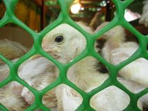 El polluelo se coloca con otros polluelos lejos de su pollo de la madre para el uso comercial foto de archivo libre de regalías