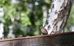 El polluelo se sienta en el tejado Fotos de archivo
