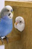 El polluelo y el budgie están en una jerarquía en el fondo blanco Fotografía de archivo