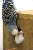 El polluelo y el budgie están en una jerarquía en el fondo blanco Imagenes de archivo
