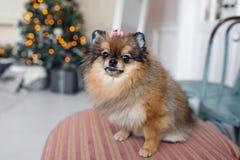 El Pomeranian es una raza del perro del tipo del perro de Pomerania conocido a menudo como Pom Animal doméstico que se sienta en  Foto de archivo libre de regalías