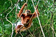 El Pongo adulto del orangután que mueve detener ramifica Sumatra, Indonesia Foto de archivo libre de regalías