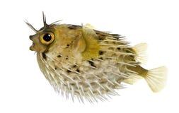 el porcupinefish de la Largo-espina dorsal también sabe como balloo espinoso foto de archivo libre de regalías