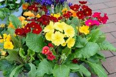 El pote hermoso florece el primer en primavera Foto de archivo libre de regalías