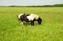 El potro blanco y negro pasta en un campo verde Foto de archivo libre de regalías