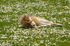 El potro del caballo se está reclinando sobre campo de flor Imagen de archivo libre de regalías