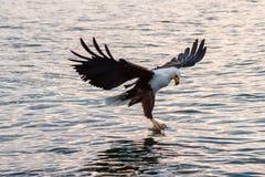 El practicar surf del águila de pescados Foto de archivo libre de regalías