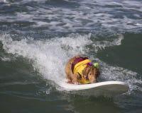 El practicar surf del golden retriever Foto de archivo