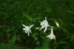 El prado abigarrado con aguileña florece como ejemplo de la guerrilla que cultiva un huerto en la ciudad Imagen de archivo libre de regalías