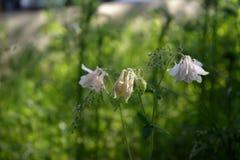 El prado abigarrado con la cola del ` s del capón florece como ejemplo de la guerrilla que cultiva un huerto en la ciudad Fotografía de archivo libre de regalías