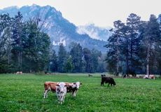 El prado alpino, pasto, el marrón blanco manchó vacas con los cuernos, prado alpino, pasto, las vacas manchadas marrón blanco con foto de archivo libre de regalías