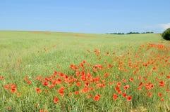 El prado con las amapolas. Foto de archivo