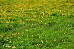 El prado derramado con el diente de león del amarillo de la primavera florece, es decir popular diciendo la leche Fotos de archivo