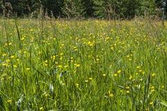 El prado natural en verano con alazán común y el ranúnculo de prado florece Imagen de archivo