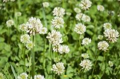 El prado natural en verano con el primer del trébol blanco florece Imagenes de archivo