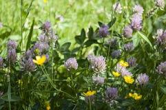 El prado natural en verano con el trébol rojo y el ranúnculo de prado florece Foto de archivo libre de regalías