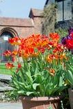 El prange y el rojo hermosos teñieron los tulipanes verticales que crecían en un pote del patio con una puerta arqueada escénica  fotos de archivo