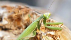 El predicador del verde del insecto se sienta en tronco de árbol almacen de video