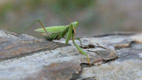 El predicador del verde del insecto se sienta en tronco de árbol metrajes