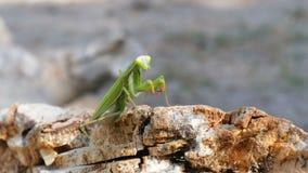 El predicador del verde del insecto se sienta en tronco de árbol almacen de metraje de vídeo
