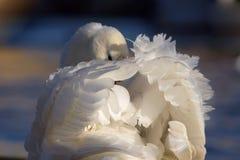 El preening del cisne Imagenes de archivo