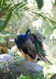 El preening del pavo real Foto de archivo libre de regalías