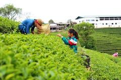 El presagio de Tailandia rompe las hojas de té Fotografía de archivo
