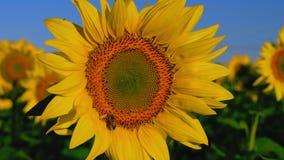 El primer, abeja llega y se sienta en el crecimiento de flor del girasol en el campo y la recogida del néctar almacen de video