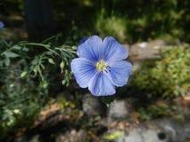 El primer azul de la flor del lino Imagen de archivo libre de regalías