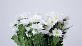El primer, baja, ramo, rotación, composición floral consiste en el bacardi blanco de la manzanilla del crisantemo metrajes