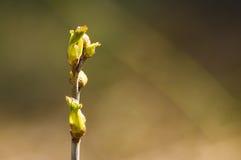 El primer brote de la primavera de bayas Imagen de archivo libre de regalías