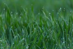 El primer cae del rocío en hierba verde fresca joven imagen de archivo
