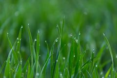 El primer cae del rocío en hierba verde fresca joven imágenes de archivo libres de regalías