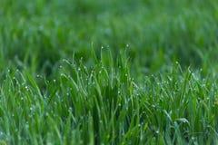 El primer cae del rocío en hierba verde fresca joven imagenes de archivo