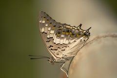 El primer colorido de la mariposa Imagen de archivo libre de regalías