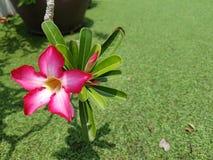 El primer de Azalea Flower, azalea rosada fresca hermosa florece, flor rosada hermosa en jardín Foto de archivo libre de regalías