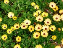 El primer de flores amarillas con verde se va en un jardín de la mariposa en Santa Barbara California Lente macra con el bokeh pa Fotografía de archivo