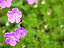 El primer de flores púrpuras con verde se va en jardín de la mariposa en Santa Barbara California Lente macra con el bokeh para l Foto de archivo libre de regalías