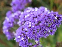 El primer de flores púrpuras con verde se va en jardín de la mariposa en Santa Barbara California Lente macra con el bokeh para l Fotografía de archivo libre de regalías