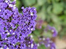 El primer de flores púrpuras con verde se va en jardín de la mariposa en Santa Barbara California Lente macra con el bokeh para l foto de archivo