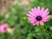 El primer de flores rosadas con verde se va en jardín de la mariposa en Santa Barbara California Lente macra con el bokeh para la Foto de archivo libre de regalías