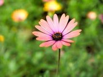 El primer de flores rosadas con verde se va en jardín de la mariposa en Santa Barbara California Lente macra con el bokeh para la Fotos de archivo libres de regalías