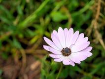 El primer de flores rosadas con verde se va en jardín de la mariposa en Santa Barbara California Lente macra con el bokeh para la Imágenes de archivo libres de regalías