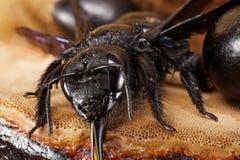 El primer de la abeja caucásica se arrastra hacia fuera carpintero Xylocopa Valga Fotografía de archivo