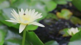 El primer de la abeja en el funcionamiento hermoso colorido del loto y del grupo encuentra el polen en el día metrajes