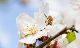 El primer de la abeja en los flores rosado-blancos del árbol de almendra tiró adentro temprano Fotos de archivo libres de regalías