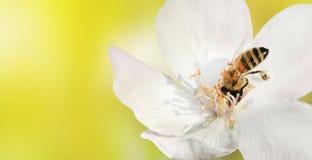 El primer de la abeja recoge el polen del néctar de la flor blanca de a Imagenes de archivo