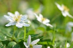 El primer de la anémona florece en el rocío de la mañana Imagenes de archivo